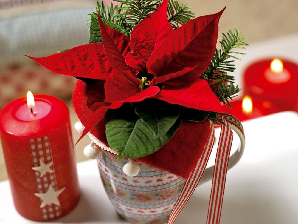 Hoci je poinsettia typicky vianočnou dekoráciou, môžete sa znej tešiť ešte dlho po sviatkoch. Dôležitá je len správna starostlivosť. Poinsettie sú citlivé na zimu aprievan – teploty pod 15°C im rozhodne nesvedčia, nemajú však rady ani suchý teplý vzduch blízko vykurovacích telies, ani priame slnko. Najlepšie sa im bude dariť na svetlom mieste pri izbovej teplote (medzi 15 a22 °C). Neocenia ani prílišné zalievanie. Ak majú vody priveľa, listy im zožltnú aopadajú.