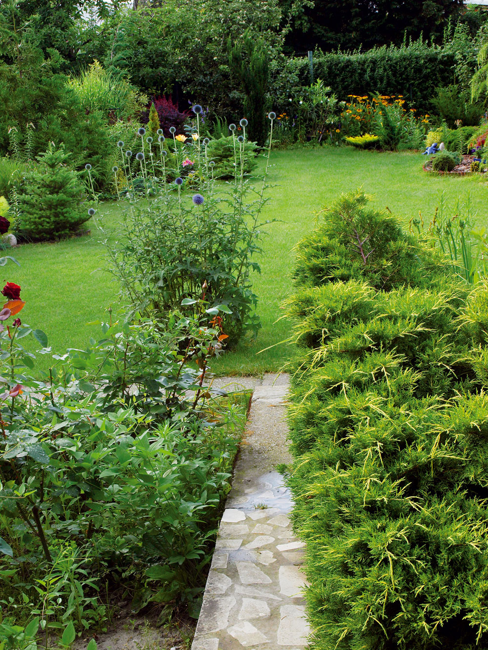 Krátky chodník vás zdomu privedie priamo na trávnik, ktorý je zeleným morom záhrady. Bez neho by bola neprehľadnou húštinou. Oproti vchodovým dverám, na pravej strane centrálnej formácie rastlín, ktorá je výraznou kompozičnou osou záhrady, vytvára pôsobivé zákutie celá plejáda nízkych krov akvetov. (Vpozadí majestátna pichľavá kráska, nenáročná trvalka, ktorá má vslovenčina naozaj nezvyčajné meno – ježibaba modrá. Jej latinský názov Echinops je podstatne menej dramatický – vpreklade znamená podobný ježkovi.)