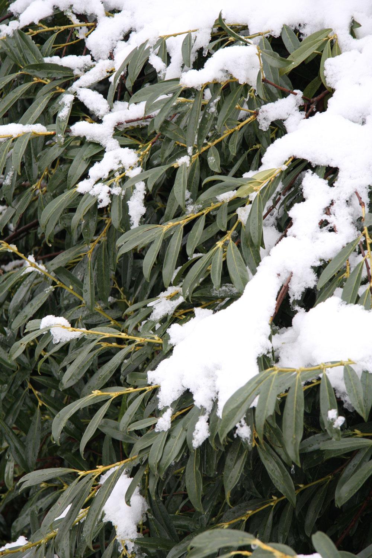 Praktická záhrada:  Kam so snehom Sneh môžete vzáhrade využiť – vyplatí sa sústrediť ho okolo vždyzelených drevín, ihličnanov arododendronov, kživým plotom ana skalky, možno ho tiež naviezť do skleníka čipareniska. Veľmi dobrá je snehová nástielka aj vporaste malín alebo okolo ríbezlí. Sneh však nesmie byť posypaný soľou, preto nie je dobré nosiť ho do záhrady zulice. Zrastlín treba sneh striasať. Nezabudnite na to hlavne pri stĺpovitých ihličnanoch avždyzelených listnáčoch, pri ktorých hrozí mechanické poškodenie.