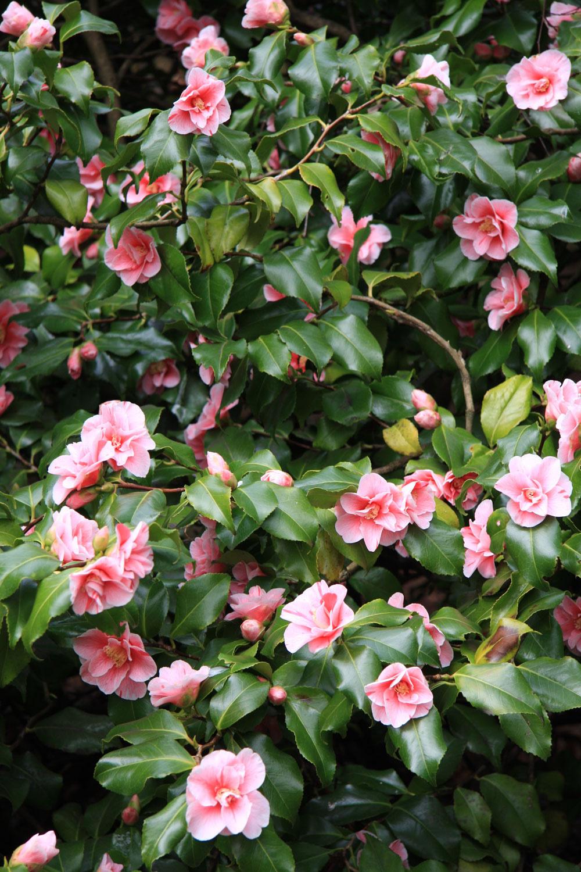 TIP do zimnej záhrady:  Kamélie – pozdrav zJaponska Zimná záhrada je miestom, ktoré vyhľadávame najmä teraz, vzime. Jej základ by mali tvoriť rastliny, ktoré pôsobia dominantne, tie sú však vprevažnej miere okrasné listami. Inú než zelenú farebnosť sem môžu vniesť rôzne kvitnúce druhy. Ktým najkrajším patria kamélie (Camellia japonica). Tieto nízke, vždyzelené kry skožovitými listami majú každoročne od decembra do začiatku jari množstvo nádherných kvetov – bielych, ružových, červených. Sú dlhoveké, vyžadujú rozptýlené, nie priame svetlo, vyššiu vzdušnú vlhkosť ateplotu do približne 10 °C. Kamélie treba zalievať mäkkou vodou anie je dobré snimi hýbať včase vytvárania pukov anipočas kvitnutia. Vyplatí sa zasadiť ich do pekného črepníka, vďaka ktorému budú pôsobiť ešte reprezentatívnejšie.