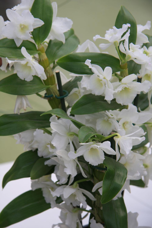 TIP do interiéru:  Malá zbierka orchideí Počas chladných dní môžu na okenných parapetoch zažiariť rôzne druhy orchideí. Nemusíte sa pritom sústreďovať len na bežné, ktoré má takmer každý. Staňte sa zberateľom orchideí apokúste sa nájsť aj menej známe či menej pestované druhy. Pekná je napríklad vanda (Vanda), ktorá môže voľne visieť anepotrebuje žiaden substrát, alebo dendróbium (Dendrobium – na obrázku), ktoré vpôvodnej domovine rastie vkorunách stromov. Táto vzrastom neveľká orchidea má rada rozptýlené svetlo, výdatnú zálievku mäkkou vodou avyššiu vzdušnú vlhkosť. Dôležité je aj pravidelné vetranie miestnosti. Prednosťou dendróbia je, že kvety vydržia na rastline až niekoľko mesiacov.
