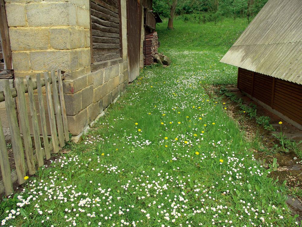 Typický bylinkový trávnik: je dostatočne nízky na to, aby umožňoval pobyt, apritom krásne kvitne.