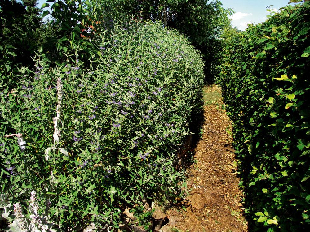 Živý plot zhrabu (vpravo) spredsadbou bradavca (vľavo), medzi nimi mulč zo záhradného odpadu ztej istej záhrady (drvené konáre, suchá tráva). Čo vyrástlo nad vytýčený rozmer, to sa zas vráti späť ku koreňom.