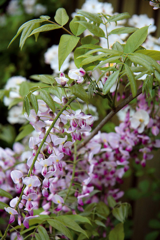Na jar zatraktívnia záhradu biele alebo fialové prenikavo voňajúce súkvetia vistérie. Táto životaschopná popínavka je teplomilná ažiada si pravidelný rez. Je dobré ju tiež občas prihnojiť hnojivom na kvitnúce dreviny.