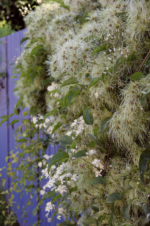 Do väčších záhrad vprírodnom štýle je vhodný plamienok plotný, ktorý počas zimy zaujme krásnymi striebristými súplodiami. Pôsobí nespútane ajeho kvety sú drobnejšie, skôr nenápadné.