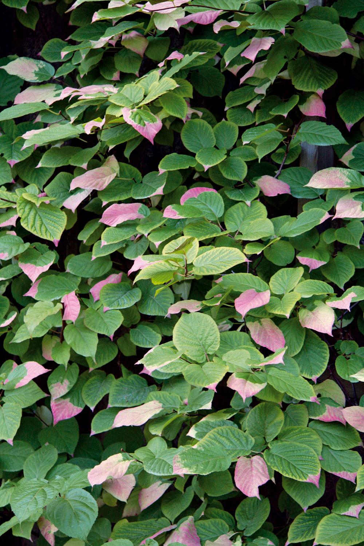 ZJaponska pochádzajúca aktinídia (Actinidia kolomikta) je atraktívna svojimi zeleno-ružovými listami. Vyhovuje jej polotieň aj slnko ažiada si výživnú, na humus bohatšiu pôdu. Vzáhrade pomôže vytvoriť intímne zákutia – najmä ak ňou necháte porásť treláže či pergolu.