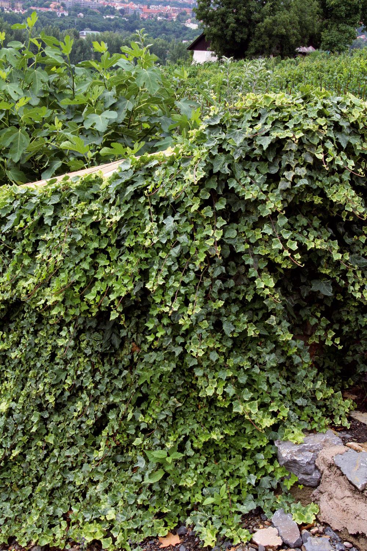 Výhodou brečtanu je, že ostáva zelený aj počas zimy. Je vhodný na fasády, rýchlo zakryje nepekné ploty či kúty aobrastie aj miesta vtieni, kde sa väčšine popínavých drevín nedarí.