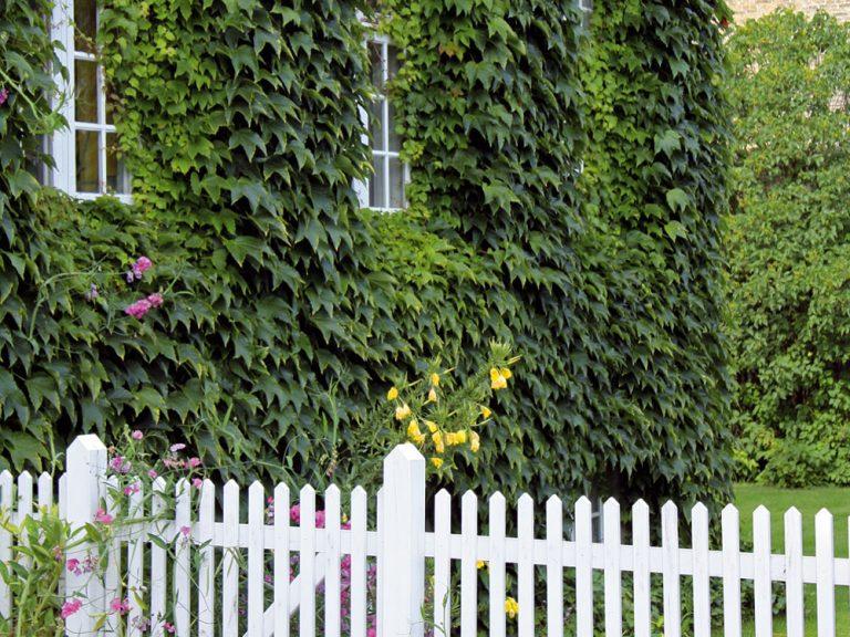 Popínavé dreviny v záhrade