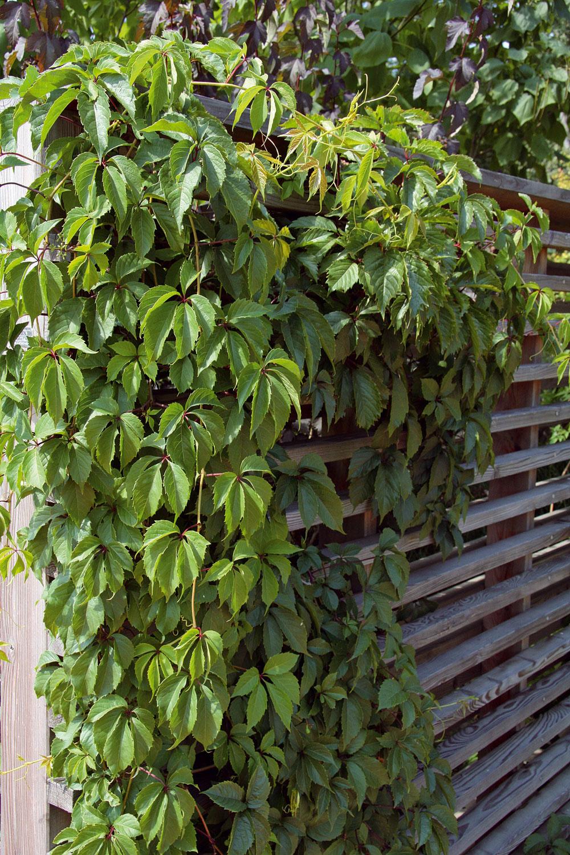 Pomocou popínavých drevín sa dajú vzáhrade vytvoriť atraktívne deliace prvky, ktoré napríklad vymedzia okrasnú aúžitkovú časť. Niektoré druhy, napríklad pavinič, možno pestovať aj vo väčších vegetačných nádobách na balkóne.