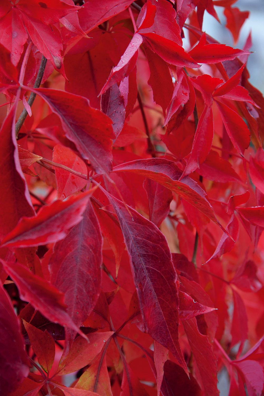 Prednosťou paviničov sú ich listy, ktoré sa za slnečných jesenných dní nádherne vyfarbia – čím je chladnejšie, tým sú listy krajšie. Na chránených stanovištiach avzávetrí vydrží takáto paráda naozaj dlho.