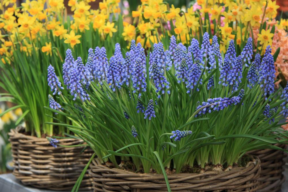 Tip na balkón: Voňavé a kvitnúce cibuľoviny V tomto období rozhodne nenechajte svoje balkóny nevľúdne a zadovážte si kvitnúce narýchlené cibuľoviny – narcisy a hyacinty (vydržia najdlhšie), ale aj tulipány, modrice či kosatčeky. V nádobách ich môžete doplniť o rozkvitajúce sirôtky, nezábudky či sedmokrásky. Dajte však pozor – substrát musí byť stále mierne vlhký. Efekt dosiahnete, ak do väčšej nádoby sústredíte viac kvitnúcich cibuľovín – pohľad z okna určite nebude nudný.