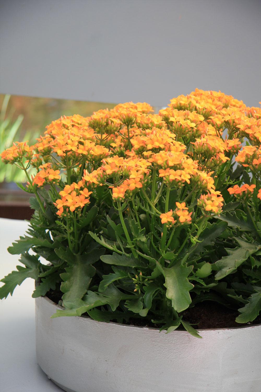 Rastlina mesiaca: Záplava farieb v črepníku Chceli by ste mať v byte niečo kvitnúce, farebné a pestovateľsky nenáročné? Skúste kalanchoe (Kalanchoe blossfeldiana), rastlinu sukulentného charakteru. Kvitne pomerne dlho a do bytu vnesie výraznú farebnosť aj v čase, keď je vonku ešte príliš sivo. Kvety, či skôr súkvetia, môžu byť biele, žlté, ružové, červené alebo oranžové. Rastlina potrebuje teplé a svetlé miesto, zalievajte ju veľmi málo. Nič sa nestane, ak na ňu občas zabudnete – miluje sucho! Je vhodná do moderných aj starších bytov, znesie suchý vzduch a bude sa jej páčiť aj u začiatočníkov. Po odkvitnutí sa však nevypláca pestovať ju ďalej, pretože je veľmi ťažké prinúť ju znovu kvitnúť.