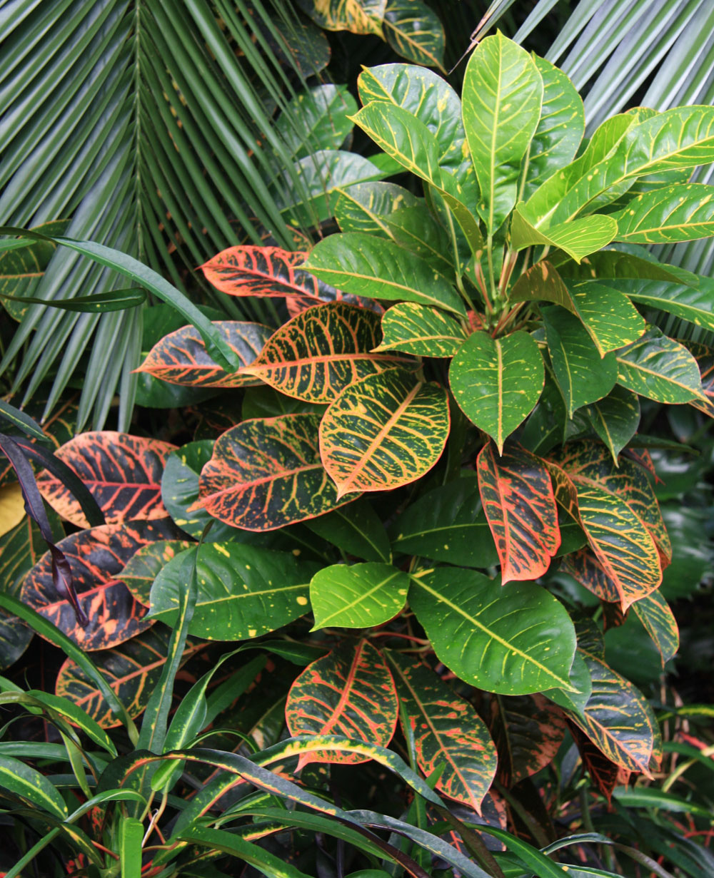 Pri pestovaní izbových rastlín sokrasnými listami nezabudnite, že potrebujú dostatok svetla. Vďaka občasnému jarnému rezu budú bohatšie olistené. (Na obrázkukrotónovec – Codiaeum variegatum)