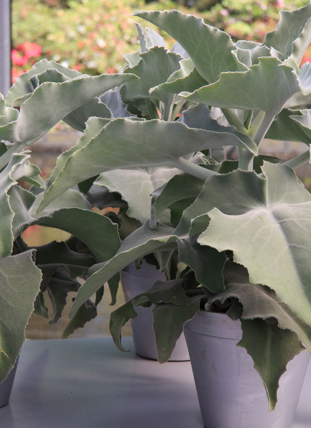 Mnohé sukulenty, ako napríklad toto kalanchoe, sa môžu popýšiť nádhernými striebristými listami. Nejde opestovateľsky náročné rastliny aich prednosťou je, že znesú aj suchší vzduch. Potrebujú dostatok svetla aobmedzenú zálievku.