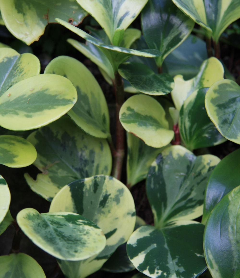 Klasikou, ktorá je vhodná najmä do tradične zariadených bytov, sú pieprovce. Na svetlom mieste dokážu už po krátkom čase vytvoriť veľmi pekné trsy. Pozor! Táto rastlina neznáša preliatie.