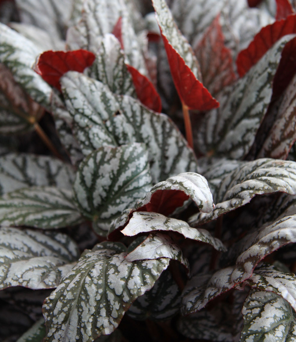Begónia kráľovská ponúka širokú škálu rôznych kultivarov spestrými aj tvarovo rozmanitými listami. Žiada si svetlé až polotienisté miesto, teplo apravidelnú zálievku. Tieto rastliny pekne vyniknú vjednofarebných, najlepšie bielych obalových črepníkoch.