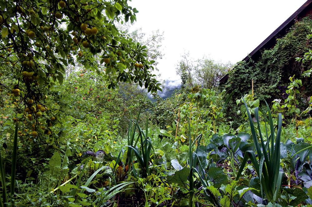 Na východnej strane domu je záhon so zmesou hlúbovín, koreňovej zeleniny, póru, šalátov, byliniek, liečivých rastlín, hrášku, fazule… to všetko vobjatí ovocných stromov (na obrázku vpravo mirabelka).