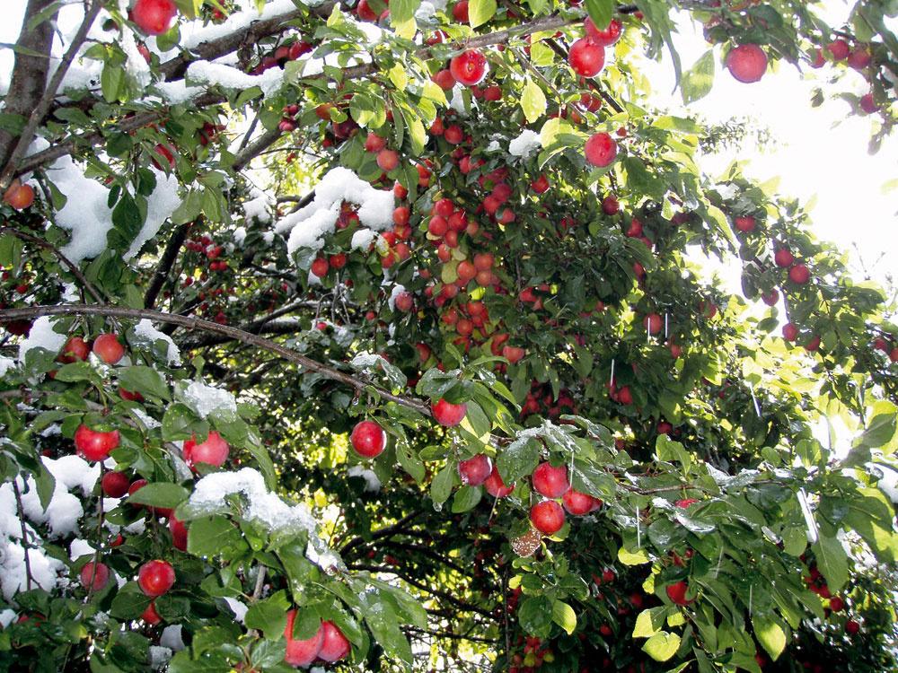 Na pozemku nájdete veľa jabloní. Pri svojich pokusoch Sepp Holzer zistil, že údajne pestovateľsky náročné druhy, ako napríklad golden delicius, vyrastú aj uňho amajú veľké plody, ktoré dlho vydržia, pokiaľ majú záveterné aklimaticky výhodné miesto.