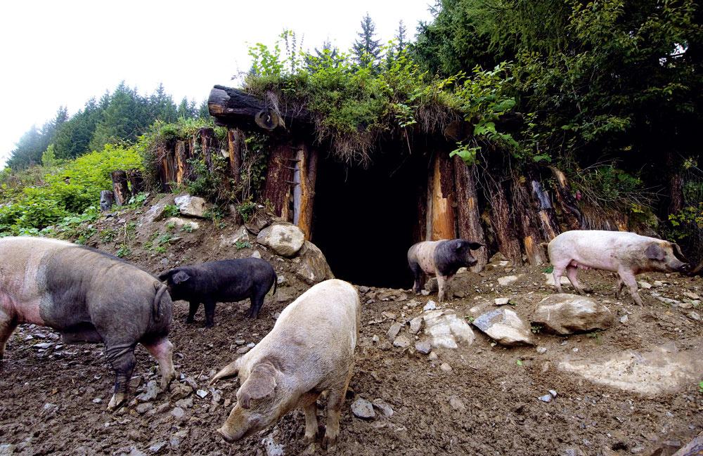 Zemné stajne poskytujú výborný úkryt pre chované zvieratá, alebo slúžia na uskladnenie úrody – vlete chladia, vzime hrejú, udržiavajú si stabilnú vlhkosť anavyše, sú útulné. (Na obrázku vpravo je zmiešané stádo prasiat – chovajú sa tu, švábsko-hallské plemeno, mangalice, duroc aturopolje.)