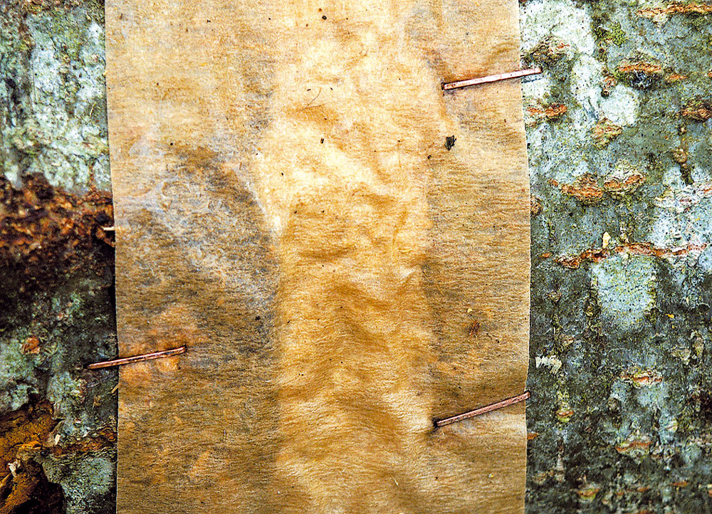 Postup založenia hubovej kultúry do dreva: drevo sa naočkuje myceliom, ktoré prerastie hmotu. Vobchodoch dostať kúpiť malé drevené štepy – kolíky, porastené myceliom (tzv.kolíčková sadba). Do dreva sa urobia otvory len omálo väčšie ako štepy, ktoré sa do nich zasunú. Dôležité je, aby bol medzi kmeňom akolíkom dobrý kontakt. Mycelium potrebuje tieň, rovnomernú teplotu avlhkosť, preto treba kmeň postaviť do tieňa blízko vody, prikryť lístím alebo jutovými vrecami aotvory vdreve uzavrieť čerstvým konárikom, lepiacou páskou alebo plastovou fóliou. Inak by sadbu zožrali slimáky, myši alebo vtáky, mohla by ju napadnúť pleseň alebo by vyschla.