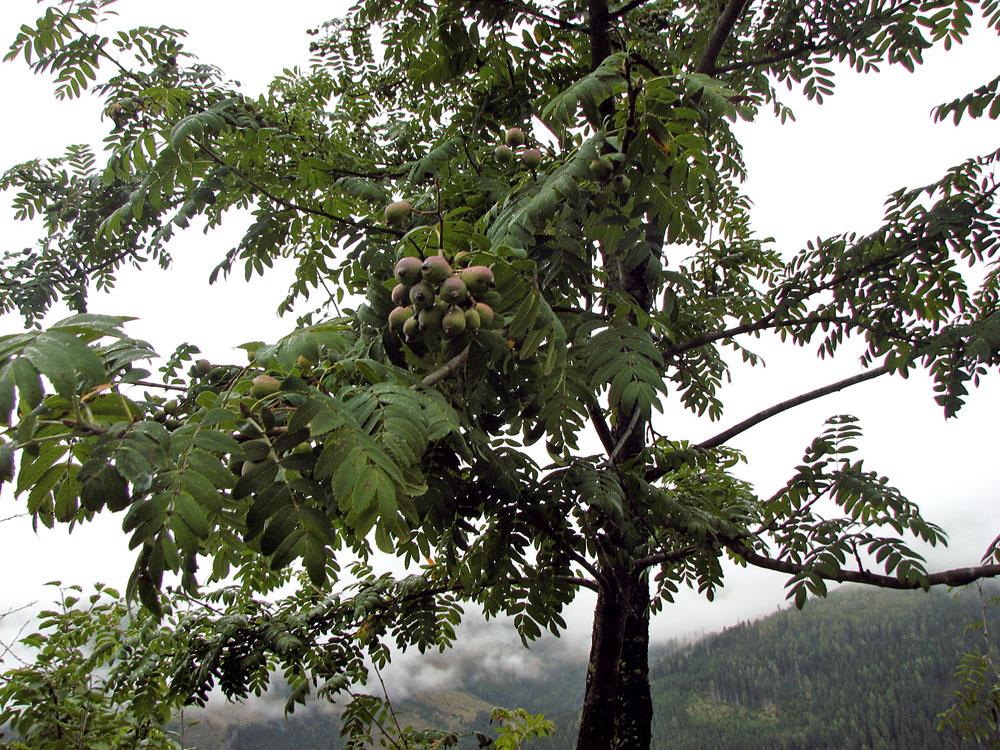 Strapce plodov málo známej starej kultúrnej dreviny – jarabiny oskorušovej, ktoré po uhniličení výborne chutia.