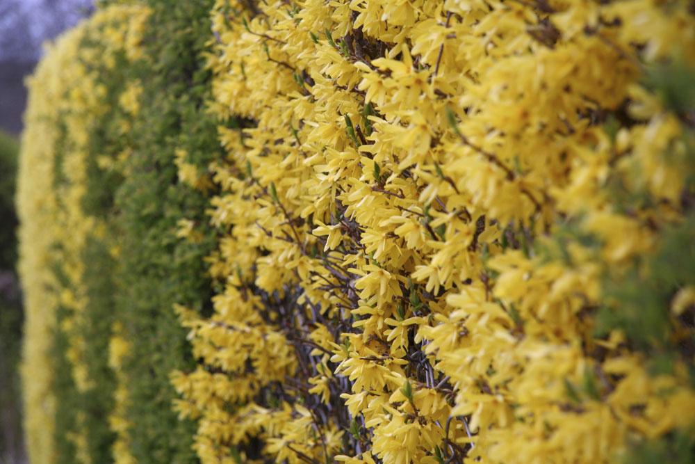 TIP na zmenu: Nová vizáž pre zlatovku  Zdá sa vám, že vaša zlatovka je zroka na rok nevzhľadnejšia aznovu kvitla menej? Je čas na zmenu. Hoci táto drevina patrí medzi nenáročné, citlivo reaguje na pravidelnú (alebo skôr nepravidelnú) starostlivosť. Po odkvitnutí urobte rez – tak sa odstráni staršie drevo. Najviac kvetov sa totiž tvorí na dvoj- atrojročných výhonkoch. Takisto netreba zabúdať, že zlatovka potrebuje slnečné miesto amierne vlhkú pôdu sobsahom vápnika. Nádherná je vkvetinových záhonoch, ale aj vo forme živých plotov.