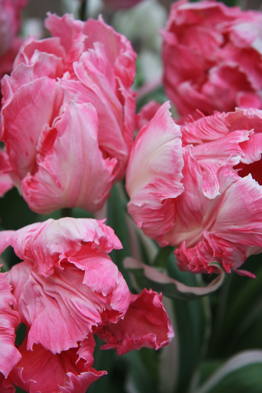 Rastlina mesiaca:  Papagájovité tulipány Zunovali sa vám klasické tulipány? Ak obľubujete tieto cibuľoviny, môžete vyskúšať napríklad papagájovité tulipány. Ich kvety sú mohutnejšie, okvetné lístky sú na okraji rozstrapkané alebo zúbkaté. Už na prvý pohľad vidieť, že sú vyššie aj pevnejšie. Na záhonoch vyniknú vskupine (pozostávajúcej aspoň zdesiatich kusov), no možno ich kombinovať aj sinými druhmi tulipánov. Sú pomerne trváce – kvety pútajú pozornosť dlhý čas avo váze vydržia tiež dlhšie ako obyčajné tulipány. Ich cibule sa vysádzajú na jeseň. Počas kvitnutia rastliny pravidelne zavlažujte, keď odkvitnú, nechajte listy úplne zaschnúť,až potom vyberte cibule zpôdy.