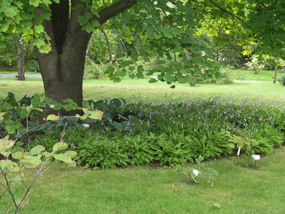 Rôzne druhy funkií (hosta) vytvorili malebný podrast pod mohutným javorom.
