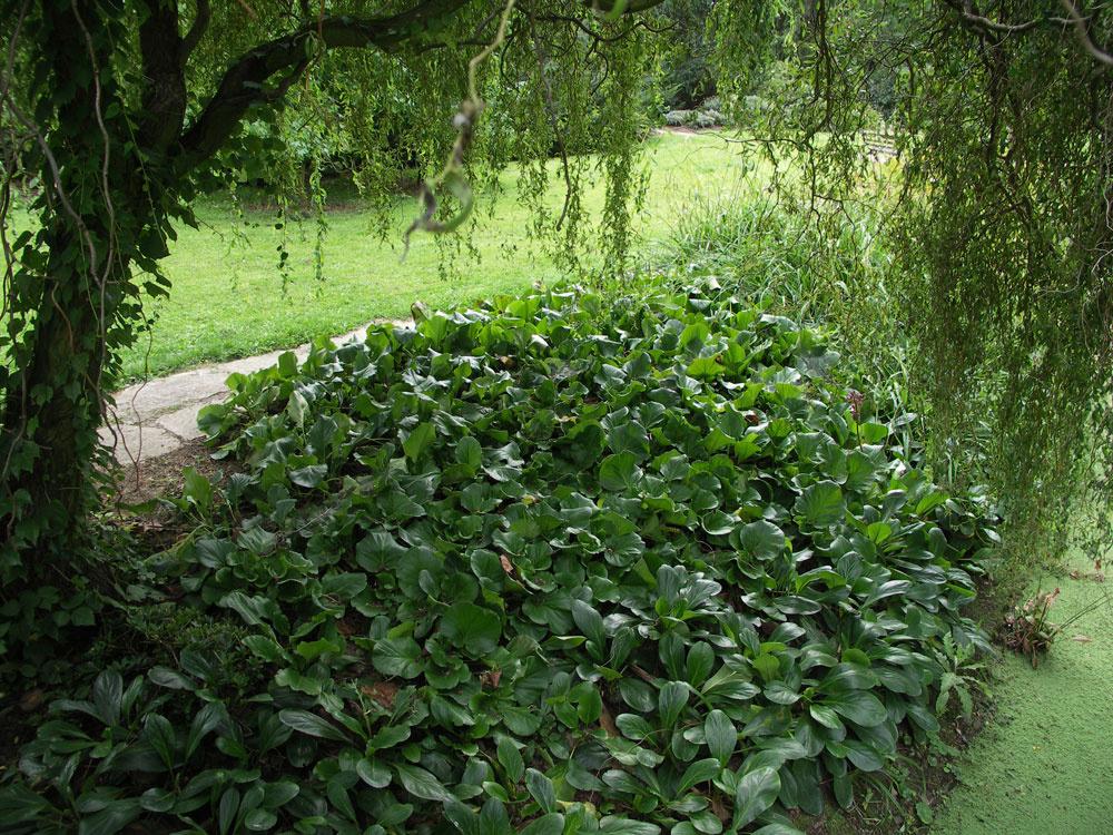 Bergénia je dokonalou rastlinou do podrastu okrasných drevín, pretože je odolná, vždyzelená ana jar ju zdobia ružové kvety. (Vpredu bergénia tučnolistá, vzadu bergénia srdcovitolistá)