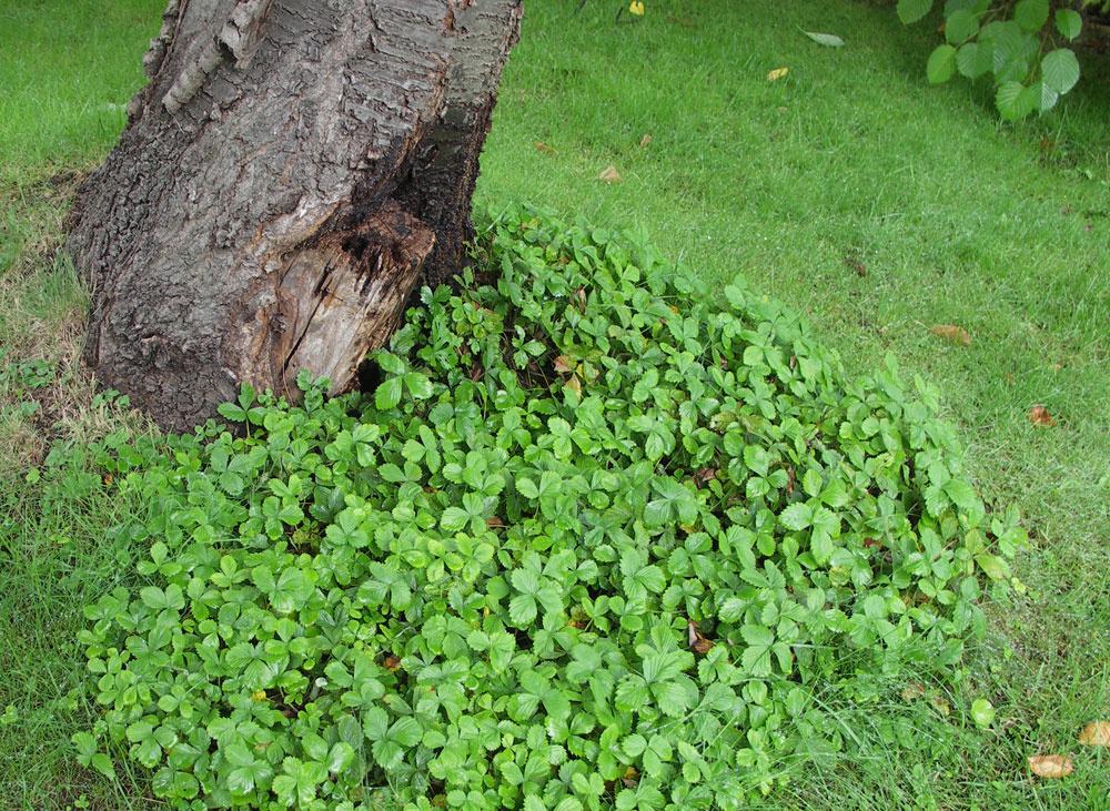 Drobnoplodé jahody sú výbornou voľbou pod stromy vrodinných záhradách. Dobre sa rozrastajú aich plody chutia asi každému.