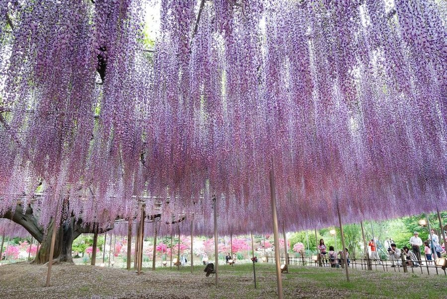 Obrovská vistéria v japonskom parku Ashikaga.