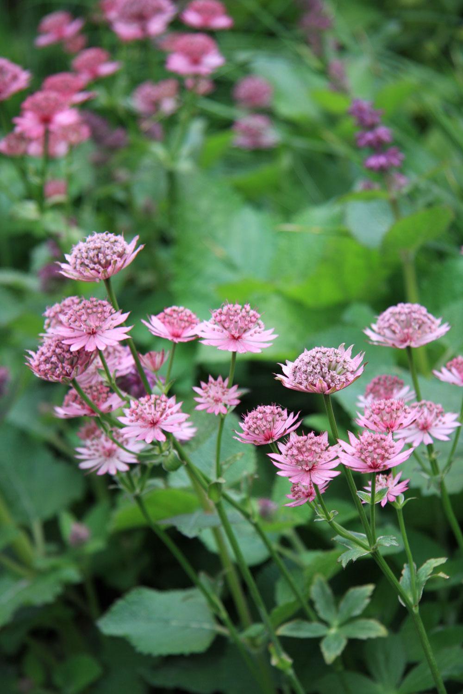 Medzi rastlinami sú zastúpené najmä tie, ktoré dlho kvitnú, vhodné sú do tieňa adokážu sa samy pomerne rýchlo rozmnožovať. Ide pritom prevažne otrvalky, ktoré pôsobia dojmom lesa. (Na obrázku jarmanka väčšia – Astrantia major)