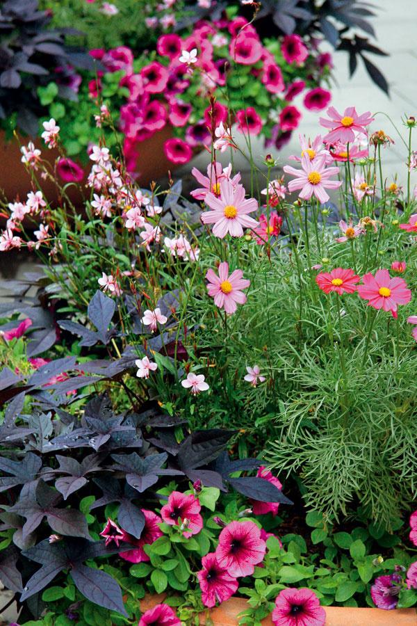 TIP na terasu:  Kombinované výsadby  Vytvoriť si na terase alebo na balkóne kvetinovú oddychovú oázu nie je vôbec namáhavé, ak si teraz vysadíte vegetačné nádoby peknými kvitnúcimi rastlinami. Vyberať môžete zbohatej ponuky vzáhradníctvach, najmä začiatkom mesiaca, na konci sú zasa zaujímavé cenové akcie. Aby balkón zakvitol arozvoniaval čo najdlhšie, do jednej nádoby dajte druhy srovnakými nárokmi. Kombinovať môžete rôzne rastové formy – trsovité, plazivé, prevísajúce – výsadby tak získajú na pôvabe. Apohrajte sa aj sfarebnosťou – spojením rôznych farebných odtieňov jednej farby vytvoríte harmonický výsledok, tí odvážnejší však môžu vytvoriť nápadné kontrasty zrôznych farieb. Rastliny vysádzajte len skoreňovými balmi dočerstvej zeminy na kvitnúce balkónové rastliny. Hnojivo spostupným uvoľňovaním živín zabezpečí záplavu kvetov počas celej sezóny.