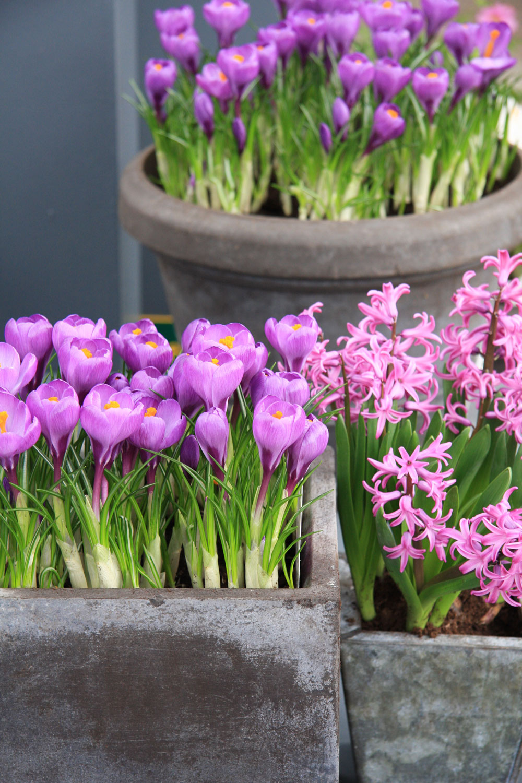 Kvitnúce hyacinty ašafrany dodajú šmrnc jarným balkónom. Vhodné je kombinovať rovnaké odtiene.