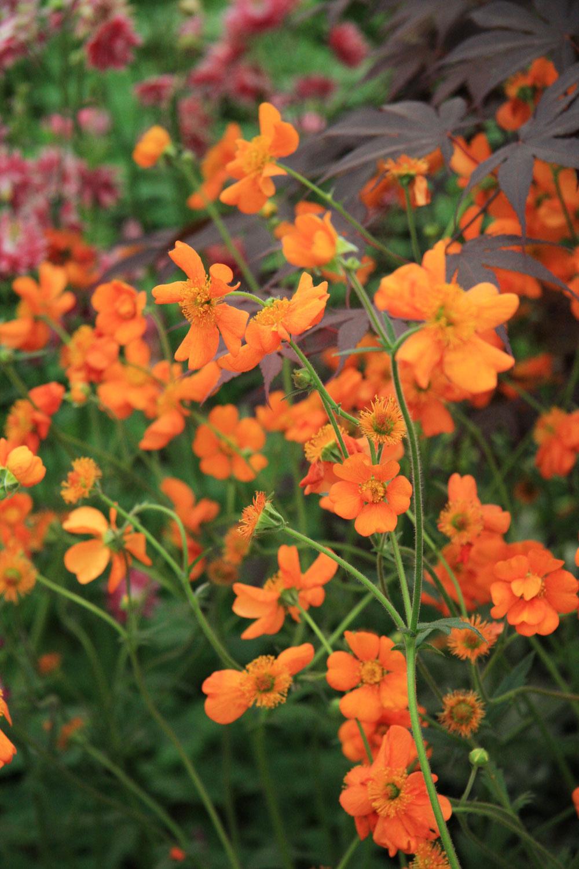 Pakosty aoranžovo kvitnúcekuklíky by rozhodne nemali chýbať vtrvalkových záhonoch. Vytvárajú nádherné kontrasty smodrými kvetmi ostrôžok.