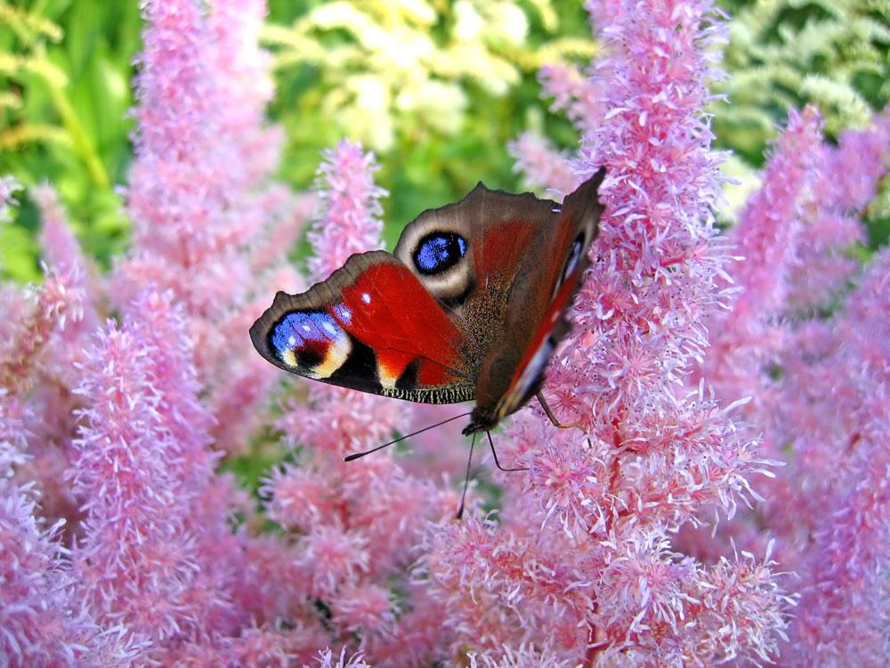 Ružové súkvetia astilby sú ako stvorené pre romantikov.