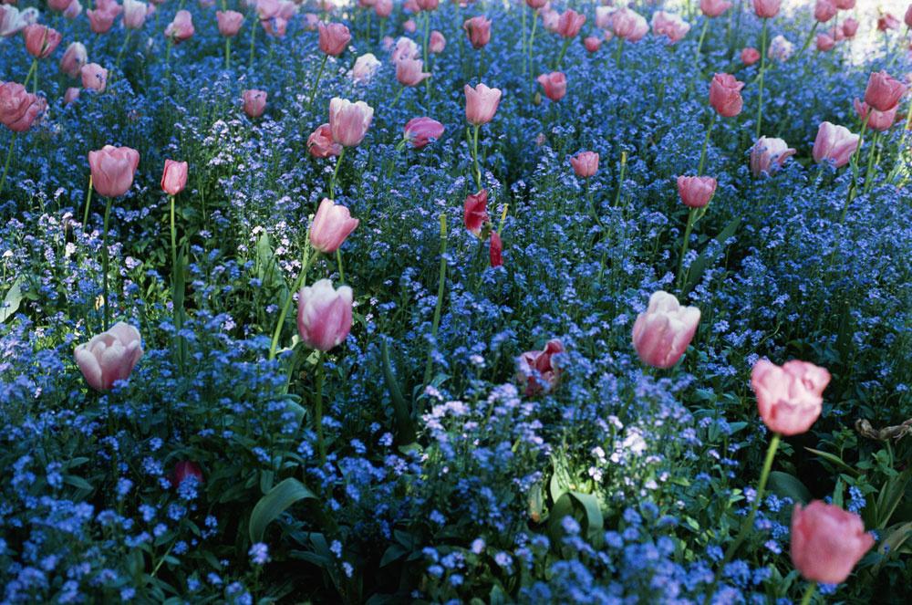 Ružové tulipány vobjatí nezábudiek
