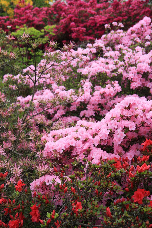 Kompozícia zjaponských azaliek príbuzného odtieňa určite vnesie farebnosť do jarnej záhrady.