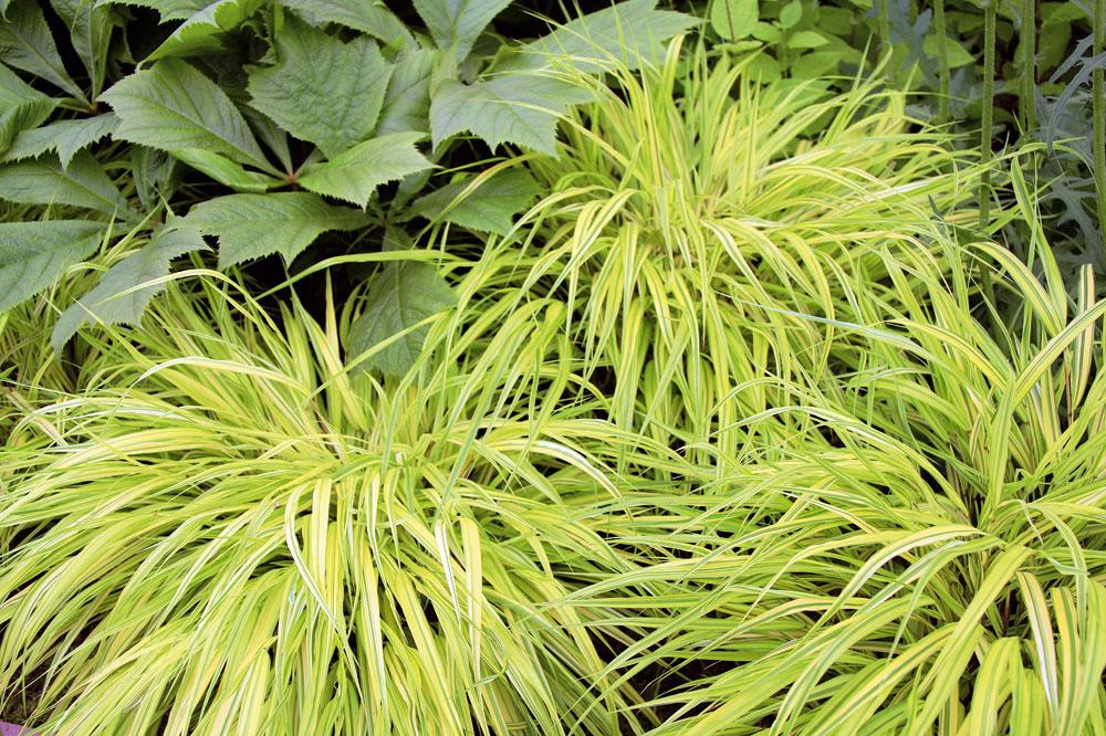 Tip do záhrady: Listy, ktoré rozžiaria záhradu Rákosovka japonská (Hakonechloa macra 'Aureola') má jedinečnú vlastnosť –vytvára krásne porasty žltozelených listov, ktorými doslova rozžiari záhony. Vysadiť ju môžete ešte aj teraz. Bude sa vynímať na okrajoch záhonov (najmä v polotieni) či pod stromami, pod ktorými nič nerastie. Svoj pôvod nezaprie (pochádza z Japonska), aj preto je vhodná do záhrad v japonskom štýle. Rákosovka dorastá maximálne do výšky 60 cm a veľmi rýchlo sa rozrastie do okolia.
