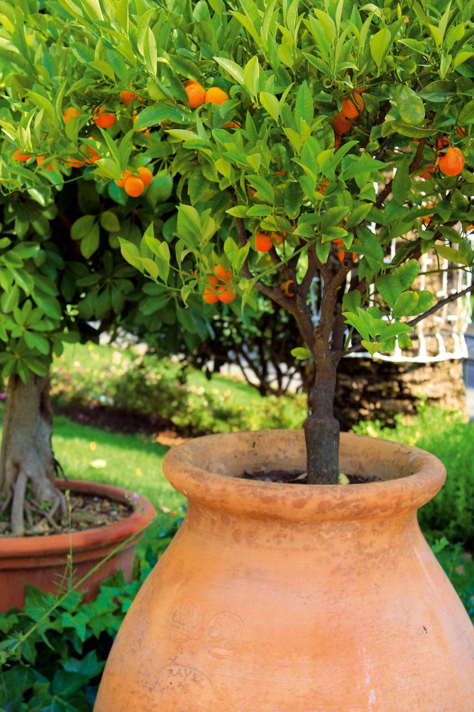Subtropické kríky vnádobách  Keďže bazény sa situujú na slnečné miesta, vich blízkosti sa bude dariť subtropickým rastlinám – granátovníku (Punica granatum), ibišteku (Hibiscus rosa – sinensis), agapantu (Agapanthus africanus), oleandru (Nerium oleander), lantane (Lantana camara), olovníku (Plumbago auriculata), ľuľku (Solanum rantonnetii), durmanu (Datura suaveolens), ale aj rôznym druhom bambusov, citrusov, figovníkov či sukulentov (agáva, aloe ainé). Ak ste fanúšikom harmónie, vysaďte dreviny do črepníkov rôznej veľkosti, ale zrovnakého materiálu. Nádoby dajte len kjednej strane bazéna, aby nebránili výhľadu do záhrady. Na zimu treba subtropické dreviny zazimovať vdome alebo zimnej záhrade.