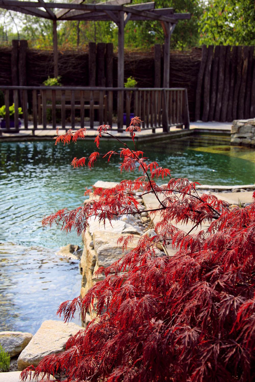 Solitérna drevina môže postávať v blízkosti bazéna. Vhodný adeptom je javor japonský (Acer palmatum).