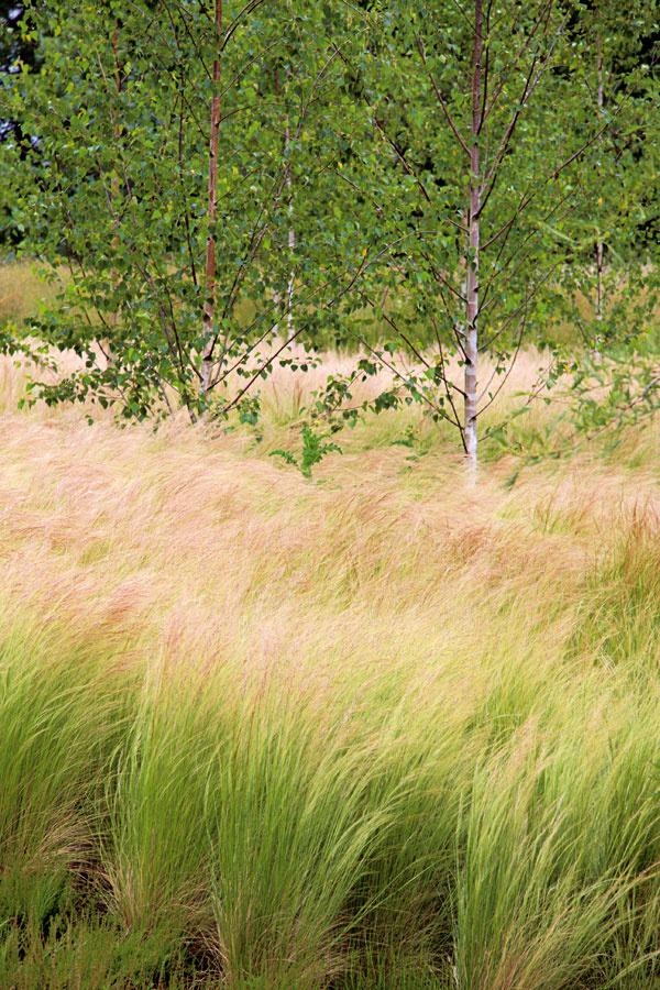 TIP do záhrady:  Pekne aj pod stromami Brezy sú nádherné dreviny, no ich nevýhodou je, že pod nimi často nič nerastie. Týka sa to všetkých plytko koreniacich drevín (javor ainé). Ani takéto miesta však nemusia zostať prázdne. Treba len vybrať rastliny, ktorým neprekáža sucho anedostatok svetla. August je ideálny na ich vysadenie – stromy totiž už ukončili svoj rast azpôdy neodoberajú toľko vlahy, takže vysadené trvalky adreviny majú šancu do zimy sa zakoreniť. Pri výsadbe dbajte na to, aby ste čo najmenej poškodili korene stromov. Dobré je pridať kvalitný substrát, rastliny sadiť skoreňovým balom apo výsadbe miesto namulčovať drvenou kôrou. Na svetlejších miestach sú pod stromami nádherné kavyle (na obrázku), na tmavších zasa ostrice, papraďorasty, funkie, brečtan, krpčiarky, skalníky ainé.