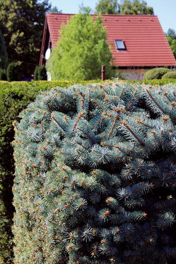 TIP do záhrady:  Tvarovanie živých plotov Živé ploty zihličnanov (tuja, tis, smrek) ukončili vjúli tvorbu ročných prírastkov. Teraz je správny čas na ich dotvarovanie. Vďaka letnému rezu zostane živý plot hustý akompaktný. Navyše, mladé výhonky majú šancu do zimy vyzrieť amráz ich nepoškodí. Netreba zabúdať na pravidelnú zálievku (najmä vobdobí sucha) ani na prihnojenie, ktoré treba urobiť ešte počas augusta.
