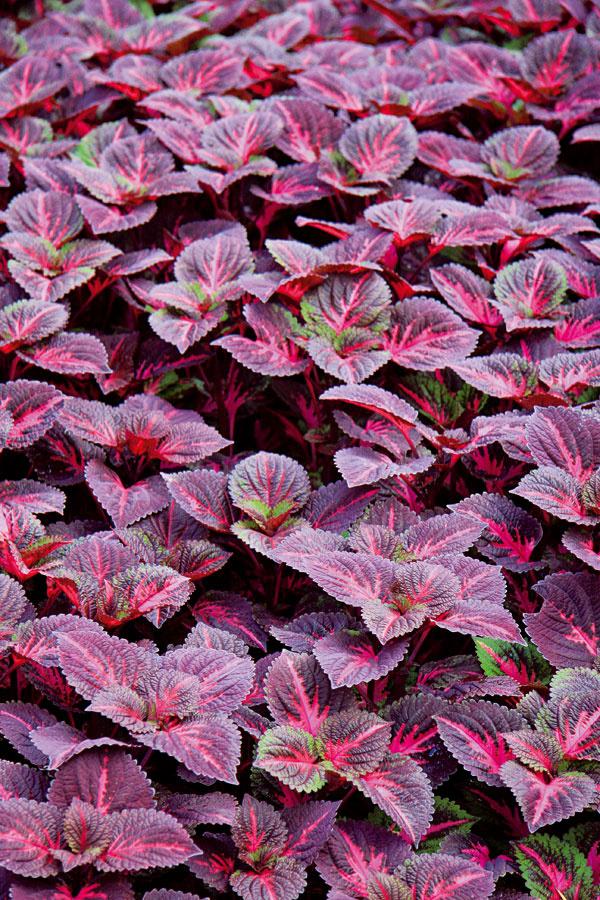 TIP na balkón: Pestré listy namiesto kvetov Ak vám vyhynula niektorá zletničiek vnádobe, prípadne ju napadli choroby aškodcovia, nahraďte ju napríklad rastlinami spestrými listami. Rastú pomerne rýchlo (prázdne miesto zakrátko zaplnia), sú vizuálne príťažlivé anenáročné na starostlivosť. Ideálny je koleus. Na zimu ho stačí preniesť do zimnej záhrady alebo chladnejšej miestnosti. Balkón môžete oživiť aj rozličnými druhmi nižších okrasných tráv.