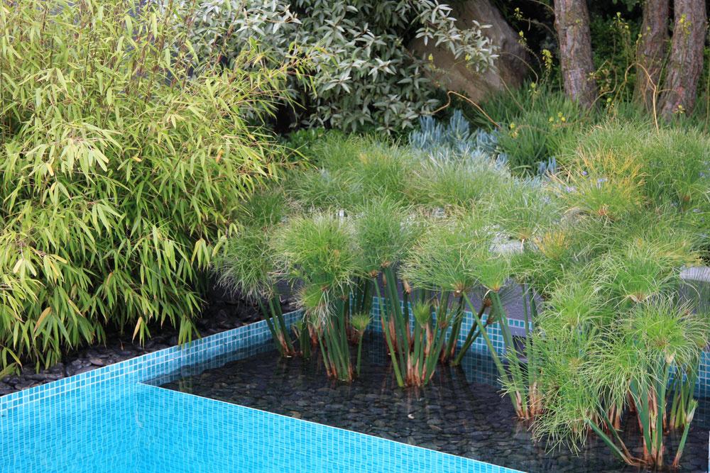 Netradičný vodný záhon sporastom nádherných papyrusov. Unás by sme ich takto mohli pestovať len vlete.