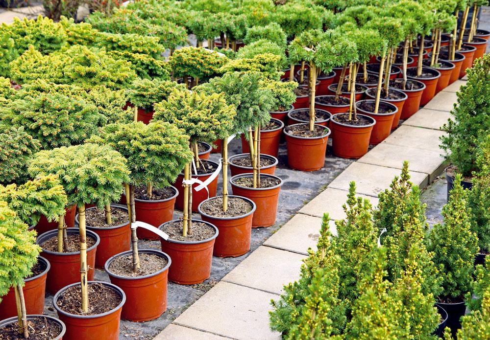 Tip na nákup:  Ako si vybrať ihličnany  Ak túžite po ihličnanoch vzáhrade, vseptembri je vhodný čas na ich výsadbu. Pri výbere vzáhradníctve sa však neriaďte len ich vizuálnou stránkou či akciovou cenou. Treba zvážiť aj to, či viete zabezpečiť vybranému ihličnanu primerané vegetačné podmienky adostatok priestoru vo vašej záhrade. Preto sa pri nákupe informujte, do akej výšky ašírky ihličnan narastie. Ak máte malú záhradu, zamerajte sa na zakrpatené druhy akultivary. Niektoré dreviny (jedle) neznesú znečistený mestský vzduch, naopak, iným (borievky, cyprušteky, tuje) neprekáža.