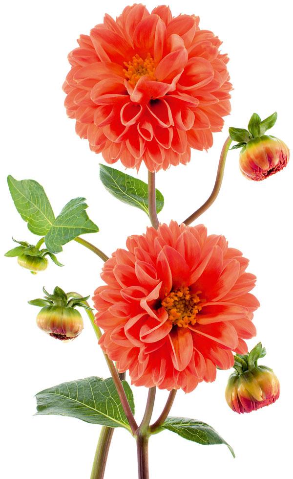 Tip na záhon:  Aby georgíny kvitli bohatšie Kvety georgín dokážu záhradu krásne farebne rozžiariť. Aby ste sa mohli kochať ich krásou, pravidelne ich zavlažujte, prihnojujte hnojivom na kvitnúce rastliny anajmä odstraňujte odkvitnuté kvety – tie zvädnuté, dažďom achladom poškodené sú totiž častým zdrojom chorôb, ktoré môžu ohroziť aj statnú rastlinu. Kvety odstraňujte v mieste najbližšieho rozvetvenia výhonku. Aj interiéru občas doprajte kyticu georgín – rezom len podporíte tvorbu ďalších kvetov. Vyššie druhy priväzujte kopore. Keď sa objavia prvé mrazíky a vňať sčernie, je čas zobrať rýľ, vykopať hľuzy auskladniť ich.