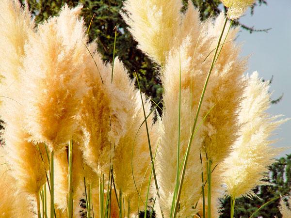 Tip na zmenu:  Vysaďte si okrasné trávy  Suchá aslnečná záhrada je ako stvorená pre okrasné trávy. Teraz nájdete vzáhradníctvach ich najširší sortiment. Nádherné sú malé skupinky nižších aj vyšších druhov, do ktorých môžete zakomponovať druhy sfarebnejšími steblami (imperáty, ostrice, proso). Rastliny vysádzajte len skoreňovým balom, keď je pod mrakom, prípadne drobno mrholí. Okrasné trávy potrebujú zálievku až do konca jesene, prihnojovať ich tento rok už netreba. Knajkrajším druhom patrí ozdobnica čínska, perovec, ostrica akostrava.