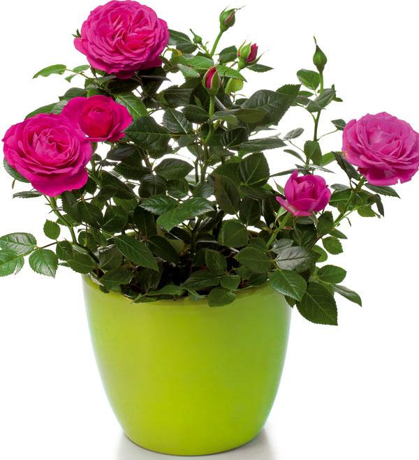 Pestovanie ruží vnádobách Takýmto spôsobom možno pestovať množstvo kultivarov. Pôsobivé sú kríkovité, ale aj stromčekovité ruže. Ak sú výsadby umiestnené na slnečnom mieste, možno sa dočkať bohatej záplavy kvetov. Ruže treba do nádob vysádzať do špeciálneho substrátu určeného výlučne na ruže. Rastliny by mali mať počas celej sezóny prísun živín asubstrát by mal byť vždy mierne vlhký. Predpokladom opakovaného kvitnutia je pravidelné odstraňovanie odkvitnutých kvetov avýber správneho druhu akultivaru. Nie všetky ruže kvitnú počas celej sezóny.