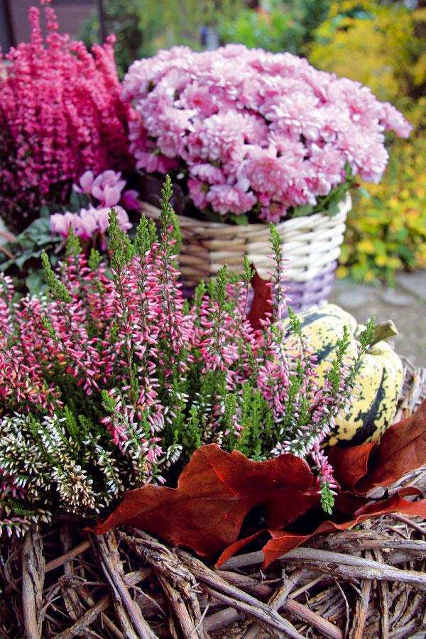 TIP na balkón:  Rozžiarte ho! Plánujete si skrášliť balkón či vstup do domu jesenným aranžmánom? Je zčoho vyberať – môžete použiť chryzantémy, vresovce, cyklámeny, ajanie, okrasné kapusty, horce, rôzne druhy okrasných tráv, na doplnenie tekvice, kukurice afarebné lístie. Aby výsadba vydržala čo najdlhšie, pravidelne ju zavlažujte, ačo bude treba, vymeňte. Zrastlín odstraňujte suché apoškodené listy aj kvety. Ak na listoch objavíte chorobu, rastlinu nahraďte inou. Vresom doprajte kyslejší substrát.